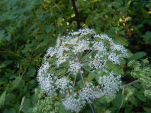 Wild Angelica in flower